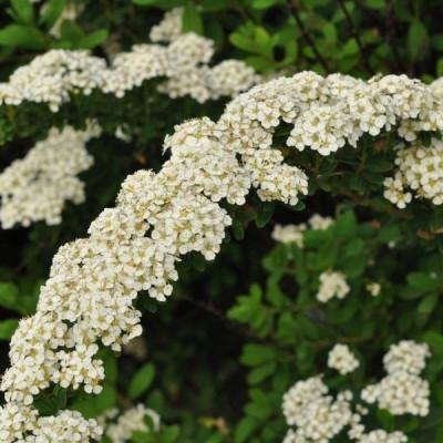 Spiraea nipponica 'Snowmound' (Spiræa) Salgsh: 30-50 cm.  (Barr. bdt m/25 stk)