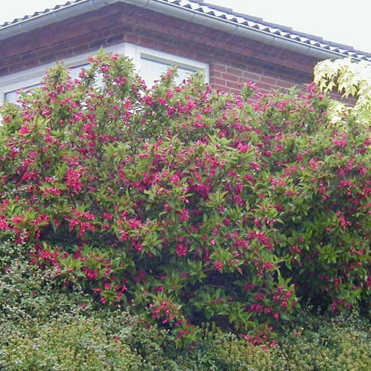 Weigela 'Red Prince' (Klokkebusk) Salgsh.: 30-50 cm.  (Barrodet bdt. m/25 stk)