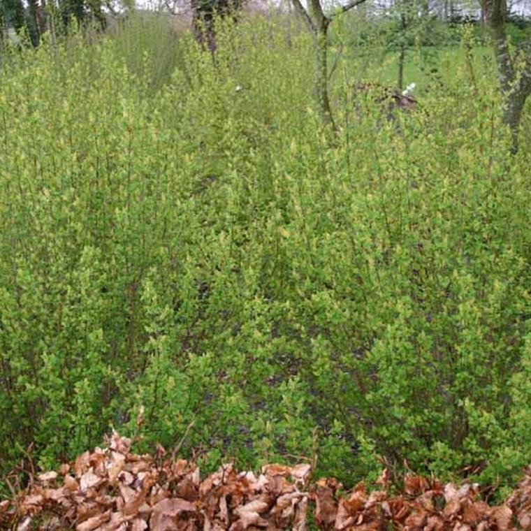 Ribes alpinum 'Hemus' - Salgshøjde: 50-80 cm.  (Barrodet bundt m/25 stk) - Fjeldribs