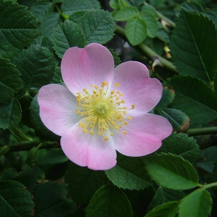 Rosa canina (Hunderose) Salgshøjde: 50-80 cm.  (Barrodet bdt m/25 stk)