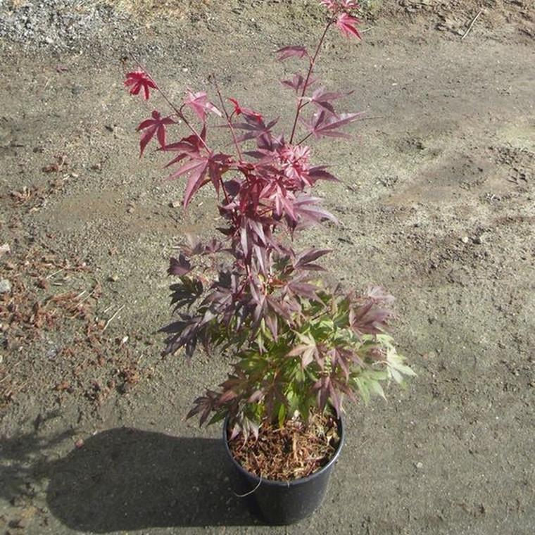 Acer pal. 'Atropurpureum' - Salgshøjde: 20 - 60 cm. - Japansk Ahorn (NP)