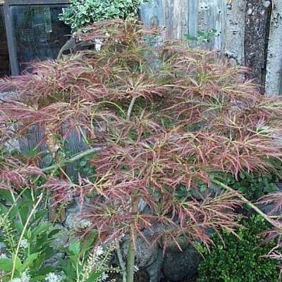 Acer pal. dissectum 'Ornatum' - salgshøjde 20-60  cm. - Japansk Ahorn.