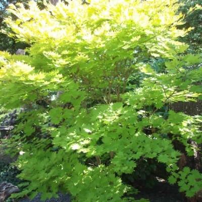 Acer shirasawanum 'Aureum' (jap. 'Aureum') - Salgshøjde: 20- 60 cm. - Japansk Ahorn (NP-JE)