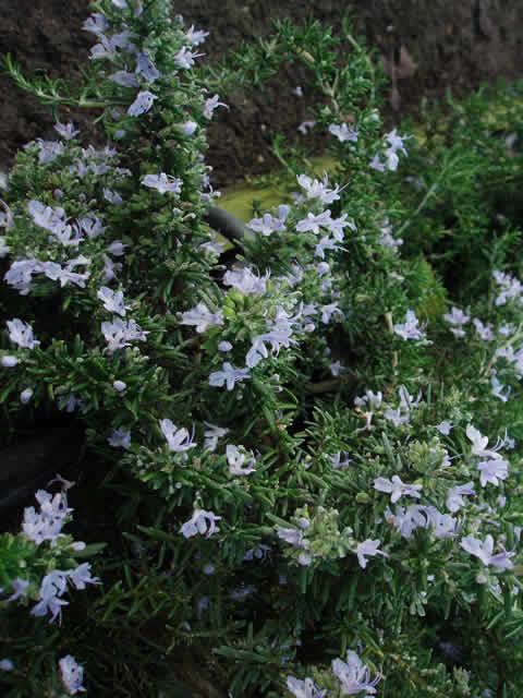 ROSMARINUS officinalis 'Blaue Winter' (Rosmarin)