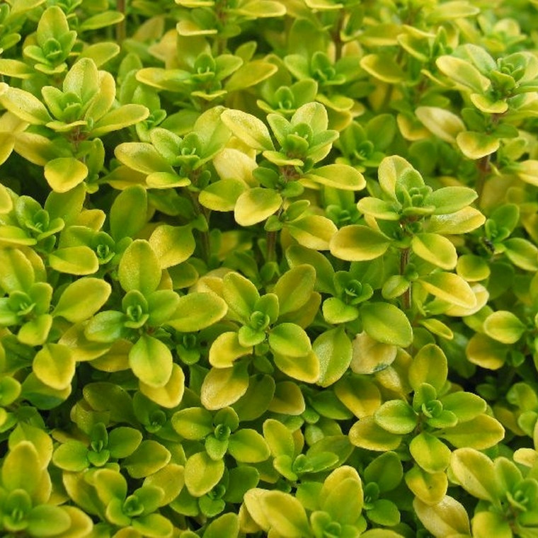 THYMUS citriodorus 'Arshers Gold' (Citrontimian)