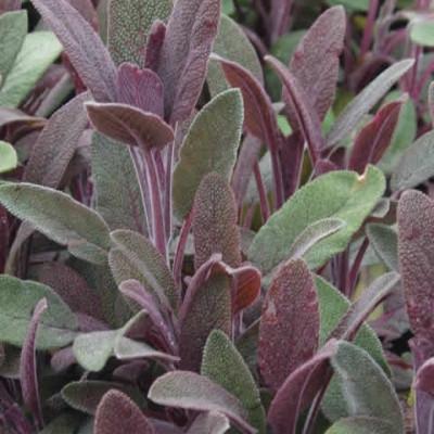 SALVIA officinalis 'Purpurescens' - Rødbladet Salvie (MS)