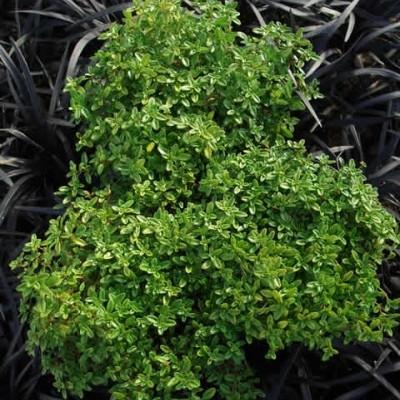 THYMUS citriodorus 'Golden Dwarf' - Gulbladet Citrontimian (MS)