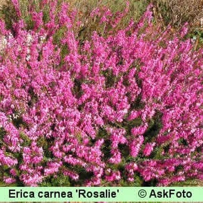 Erica carnea 'Rosalie' (Forårslyng)