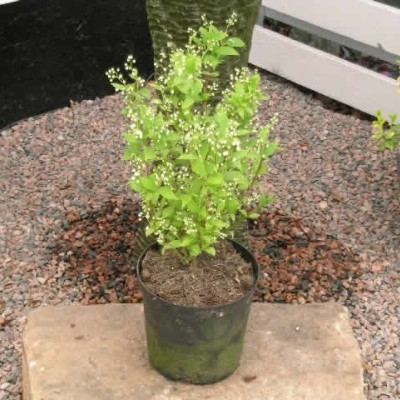Deutzia gracilis - Salgshøjde: 30-50 cm. - Stjernetop (NP-GC)