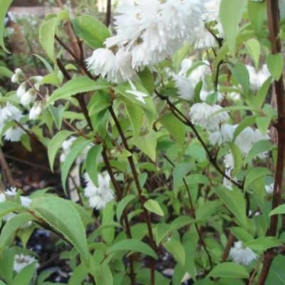 Deutzia magnifica 'Defica' - Salgshøjde: 40-60 cm. - Stjernetop (GC)