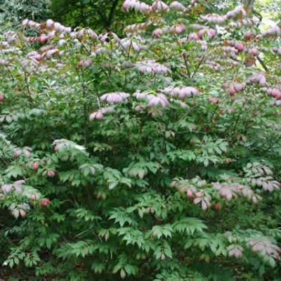 Euonymus alatus - Salgshøjde: 30-50 cm. - Vinget Benved