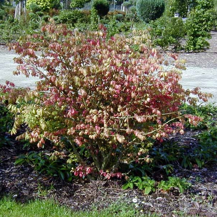 Euonymus alatus 'Compacta' - Salgshøjde: 30-50 cm. - Vinget Benved