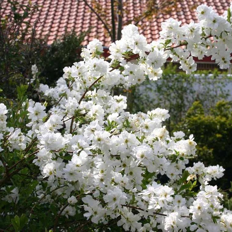 Exochorda marcantha 'The Bride' - Salgshøjde: 40-60 cm. - Perlebusk