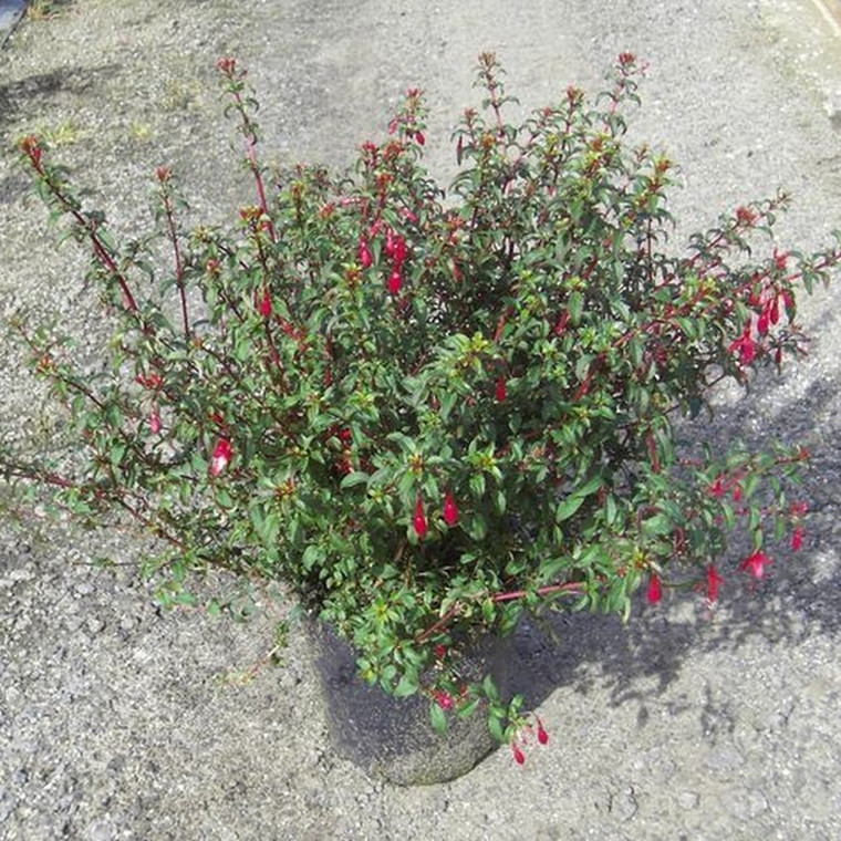 Fuchsia magellanica 'George'  - Salgshøjde: 20-40 cm. - Havefuchsia