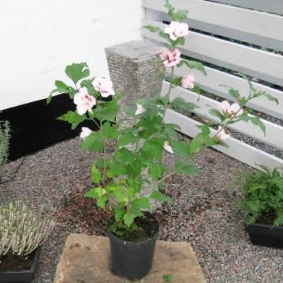 Hibiscus syriacus 'Hamabo' - Salgshøjde: 30-40 cm. - Syrisk Rose