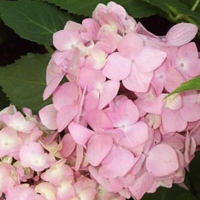 Hydrangea macrophylla 'Bouquet Rose' - Salgshøjde: 20-50 cm. - Hortensia