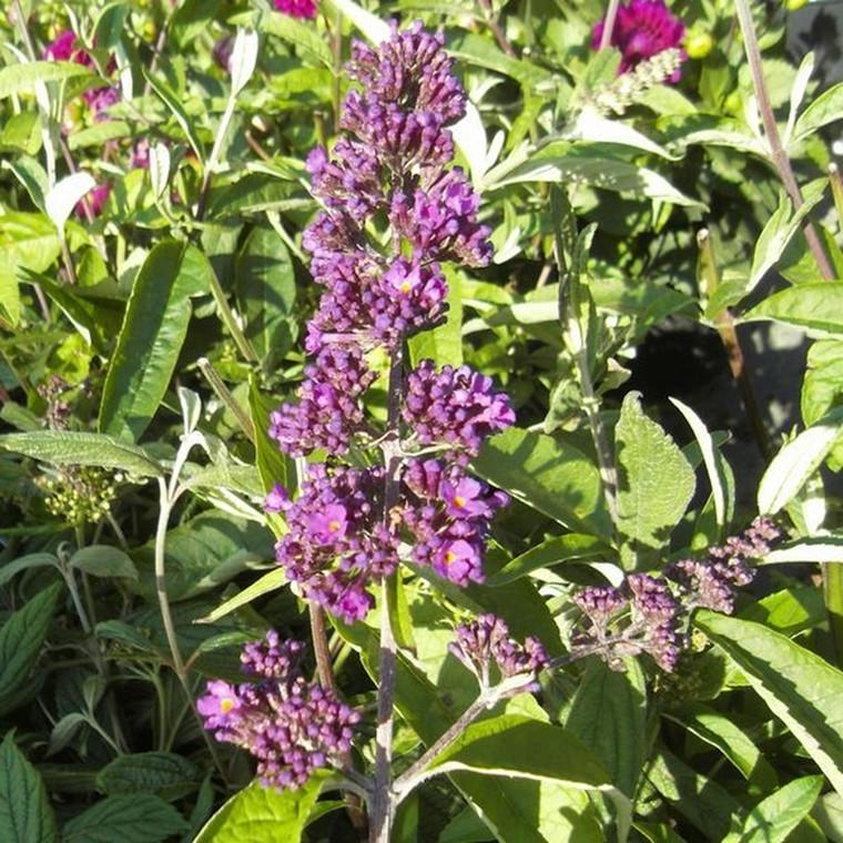 Buddleia davidii 'Nanho Purple' - Salgshøjde: 35-80 cm. - Sommerfuglebusk