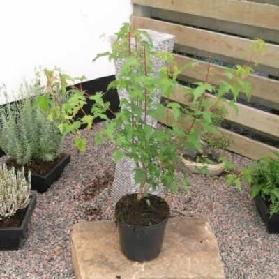Acer ginnala - Salgshøjde: 50-80 cm. - Ildløn