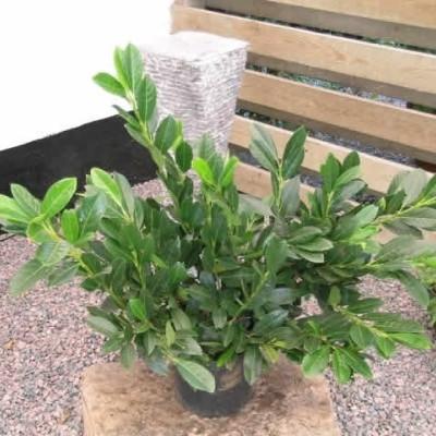 Prunus laurocerasus 'Van Ness' (Kirsebærlaurbær) 30-60 cm