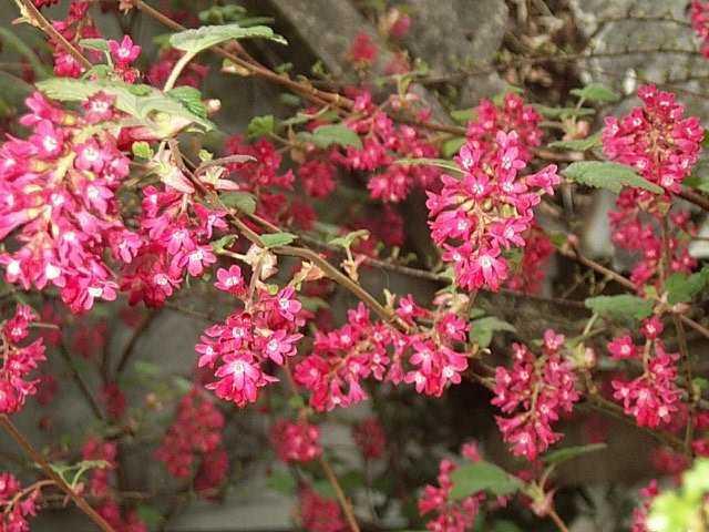 Ribes sanguineum 'Atrorubens' - Salgshøjde: 40-60 cm. - Blodribs