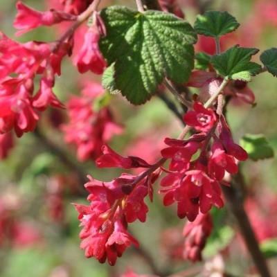 Ribes sanguineum 'Koja'  - Salgshøjde: 40-60 cm. - Blodribs