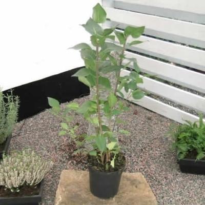 Syringa vulgaris 'Katherine Havemeyer' - Salgshøjde: 40-60 cm. - Syren