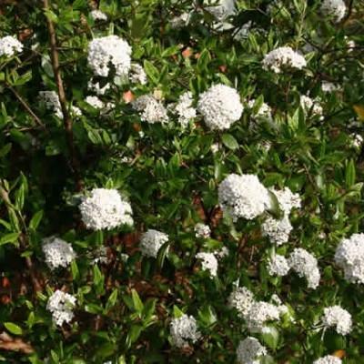 Viburnum burkwoodii - Salgshøjde: 40-60 cm. - Duftsnebolle