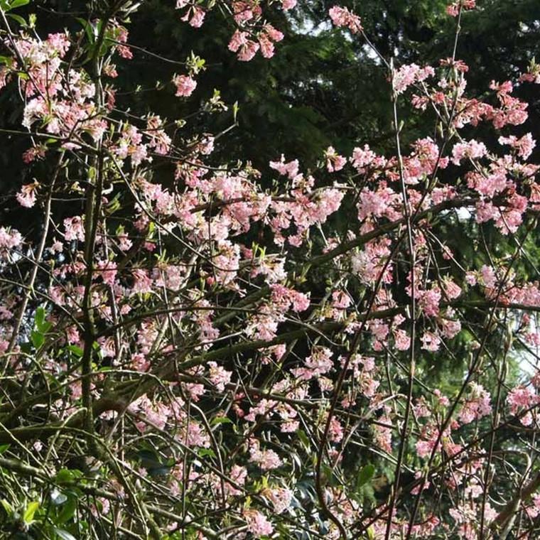 Viburnum bodnantense 'Charles Lamont' - Salgshøjde: 40-60 cm. - Kejserbusk