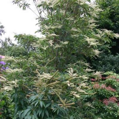 Clethra barbinervis - Liljekonvalbusk (BP)