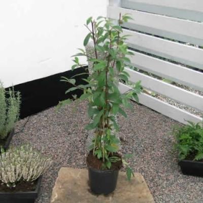 Cotoneaster watereri 'Brandkjær' - Salgshøjde: 40-50 cm. - Dværgmispel (NP-GC)