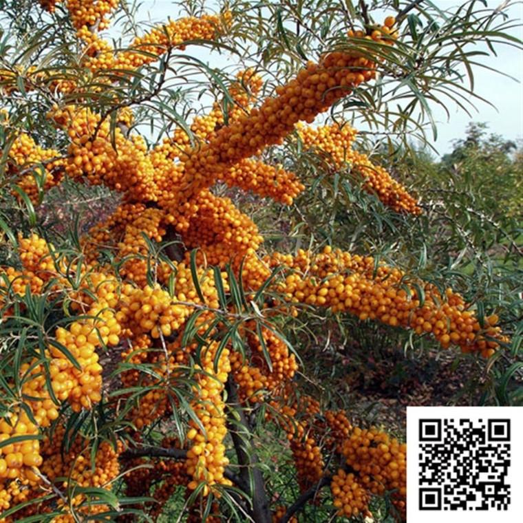 Hippophae rhamnoides 'Leicora' (Havtorn/Sandtorn Hunplante) - Salgshøjde: 30-50 cm.