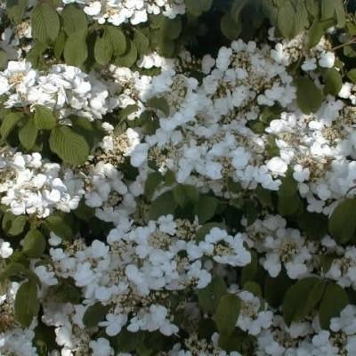 Viburnum plicatum 'Cascade' - Salgshøjde: 30-40 cm. - Snebolle