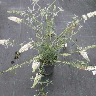 Buddleia davidii 'Nanhoensis Alba' ('Nanho White') - Salgshøjde: 35-80 cm. - Sommerfuglebusk