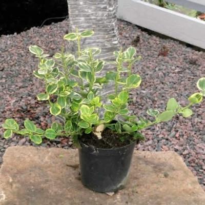 Euonymus japonica 'Canadale Gold' - Salgshøjde: 15-25 cm. - Krybende Benved