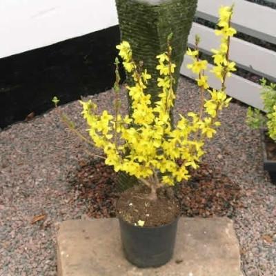 Forsythia intermedia 'Goldrausch' - Salgshøjde: 40-60 cm. - Vårguld