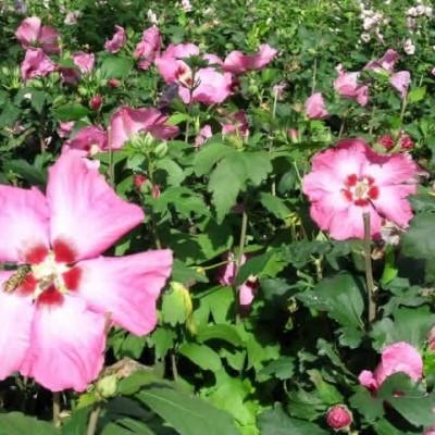 Hibiscus syriacus 'Aphrodite' - Salgshøjde: 30-40 cm. - Syrisk Rose
