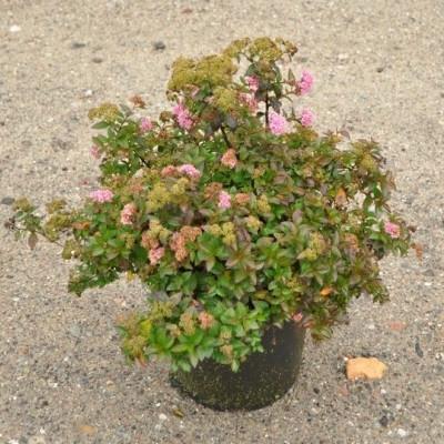 Spiraea japonica 'Newport Dwarf' (Dværgspiræa) 30-50 cm
