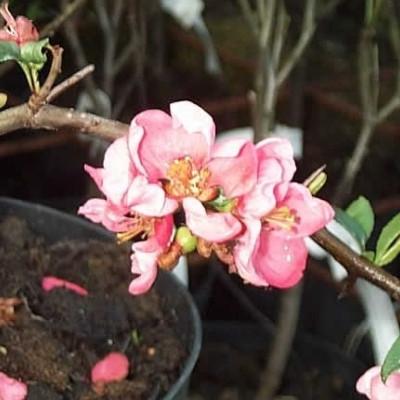 Chaenomeles superba 'Pink Lady' - Salgshøjde: 30-50 cm. - Japansk Kvæde