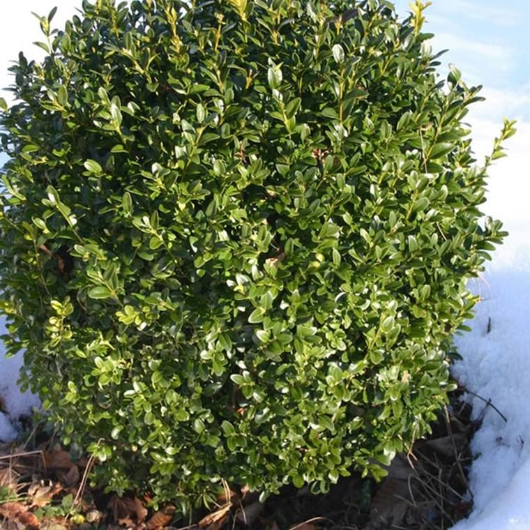 Buxus sempervirens - Salgshøjde: 12-15 cm.  (9 cm. potter) - Buksbom