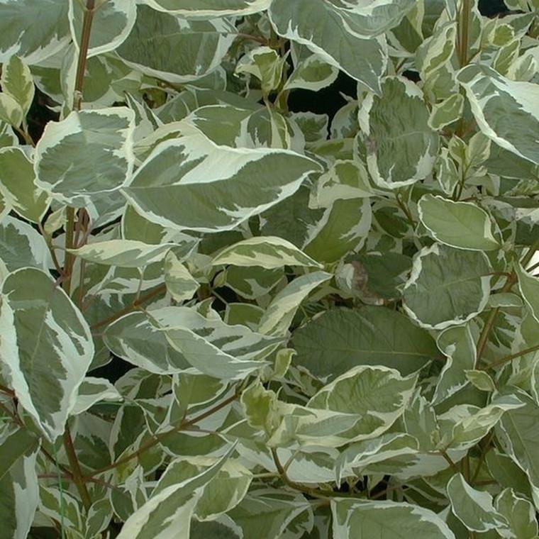 Cornus alba 'Elegantissima' - Salgshøjde: 50-80  cm. - Kornel