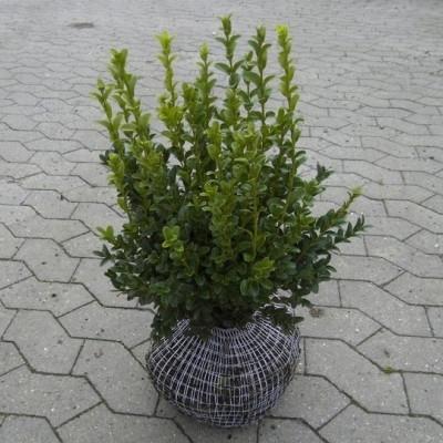 Buxus sempervirens 'Balder'  - Salgshøjde: 30-40 cm. - Buksbom