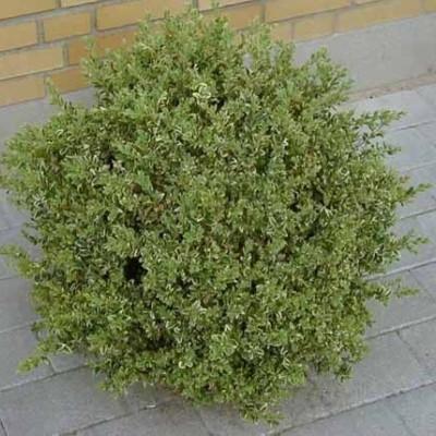 Buxus sempervirens 'Elegans' - Salgshøjde: 25-30 cm. - Buksbom