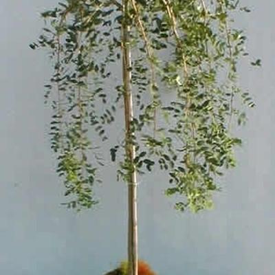 Caragana arborescens 'Pendula' - Stammehøjde: 80 cm. - Hængende ærtetræ