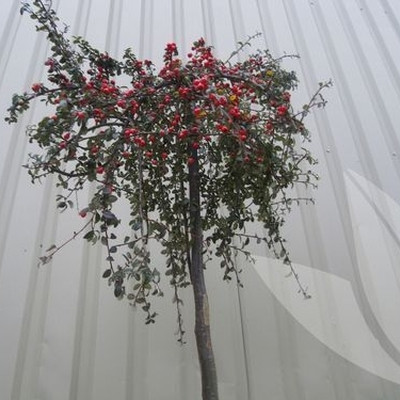 Cotoneaster dammeri 'Coral Beauty' - Stammehøjde: 80 cm. - Dværgmispel