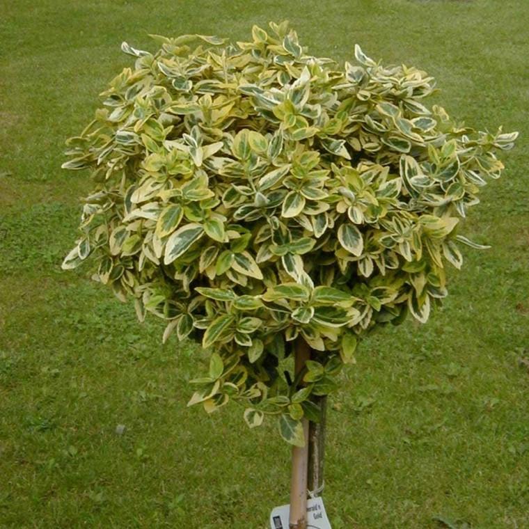 Euonymus fortunei 'Emerald Gold' - Stammehøjde: 60 cm. - Benved