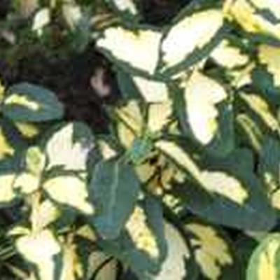 Euonymus fortunei 'Blondy'  - Stammehøjde: 60 cm. - Benved