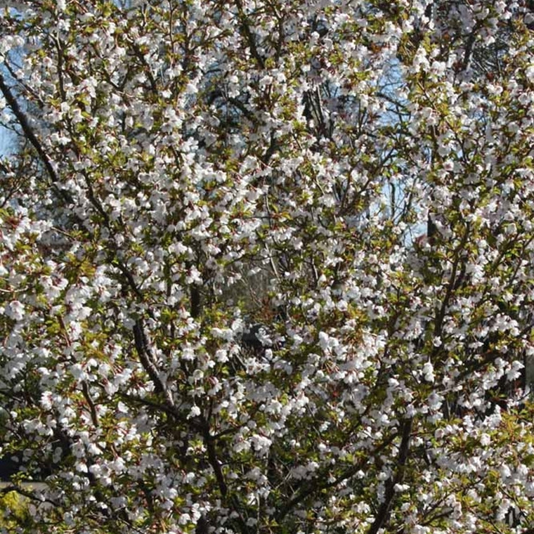 Prunus incisa 'Kojou-no-mai' -  Prydkirsebær - Stammehøjde: 80 cm.