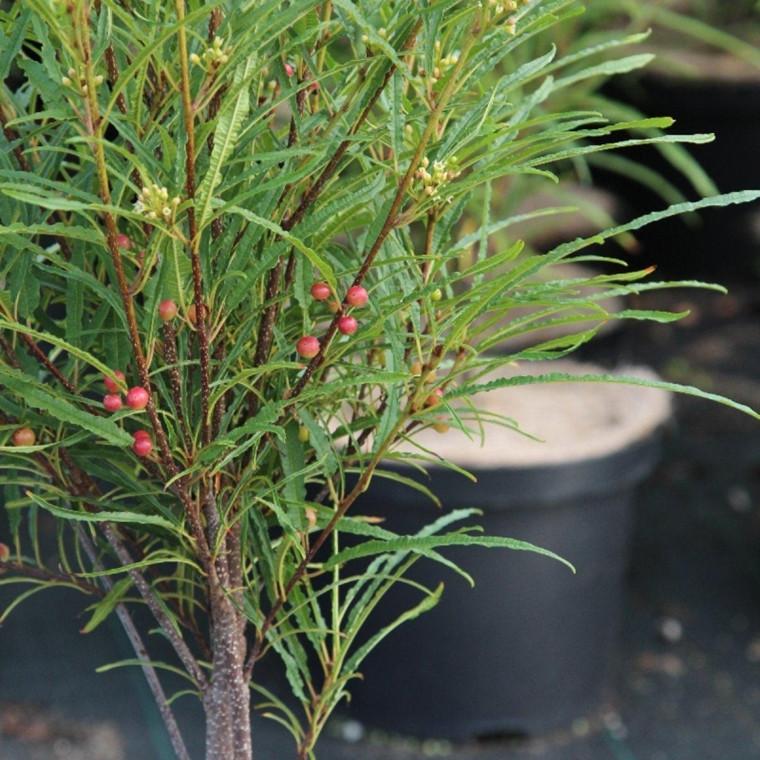 Rhamnus frangula 'Fine Line' -  Salgshøjde 30-50 cm. - Søjleformet Tørstetræ