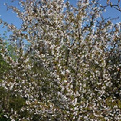 Prunus incisa 'Kojou-no-mai' - Prydkirsebær - Stammehøjde: 150 cm.