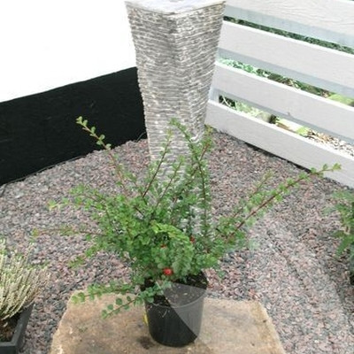 Cotoneaster praecox 'Copra'  - Salgshøjde: 25-30 cm. (NP)